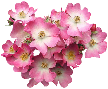 Clip art graphics pink flowerg mightylinksfo