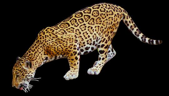 clip art jaguar - photo #19